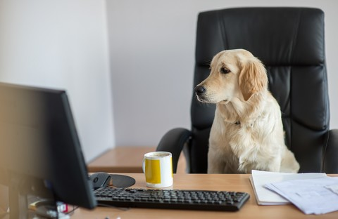 2478fa07419b3b2dea456630ec69afd918eb8c02 dog gold retriever working in office at the computer t20 xzk28r
