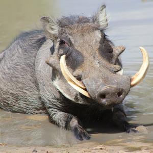 28968ab544ab46197eb1620e8daa3eff65d149f2 warthog boar happy times t20 ao0xvp