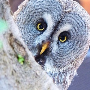 30004f54b1d753c0607718a5fbc98f6335f73679 owl staring at camera t20 rmxlno