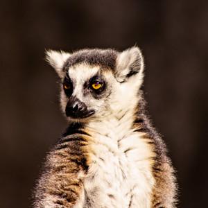 Cde77d286562bb2c5e0b914cda9724eb8a31fd14 lemur posing in the sun t20 o3m41m