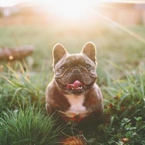 F18774081e98755f61bcf1e5f2a130794ecfbbaa outdoors dog cute smiling pet funny happy french bulldog golden hour t20 eopdoo